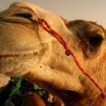la fábula de los camellos